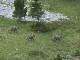 faune Vercors